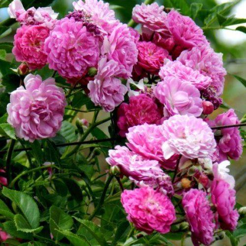 Роза Плетистая Amethyste