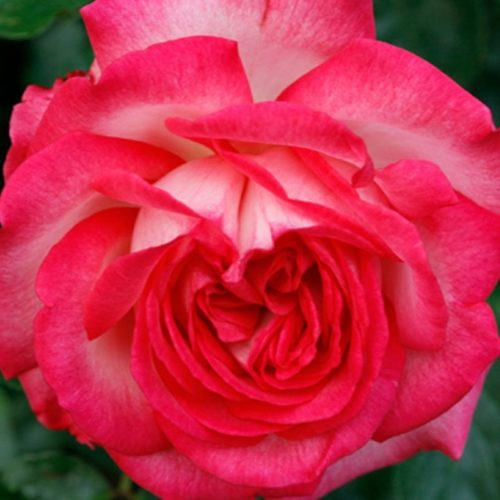 Роза Плетистая Antike