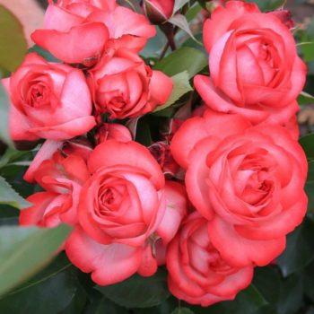 Роза Плетистая Antike-1