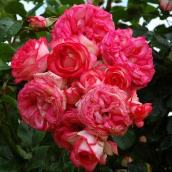 Роза Плетистая Antike-2