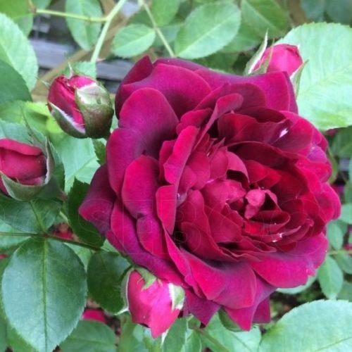 Роза Плетистая Attleborough