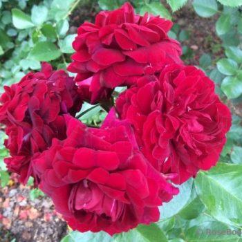 Роза Плетистая Attleborough-1