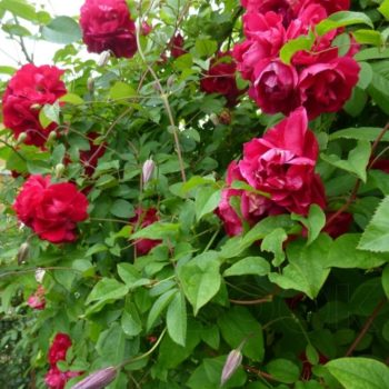 Роза Плетистая Attleborough-2