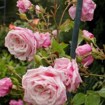 Роза Плетистая Blossom Time-1