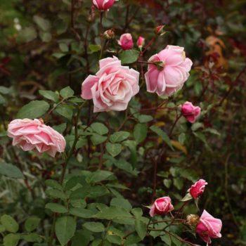 Роза Плетистая Blossom Time-2