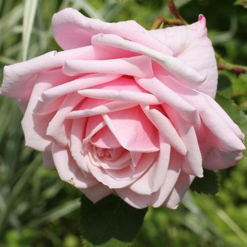 Роза Плетистая Blossom Time