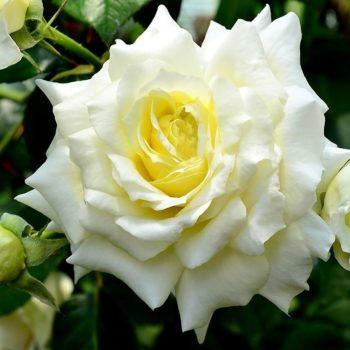 Роза плетистая Francine Jordi-2