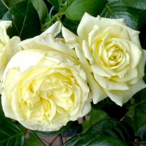 Роза плетистая Francine Jordi