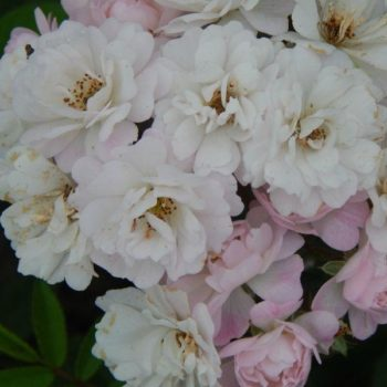 Роза плетистая guirlande rose-1