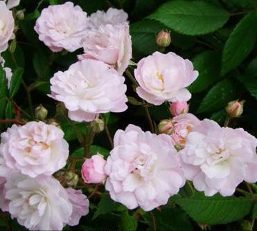 Роза плетистая guirlande rose-2