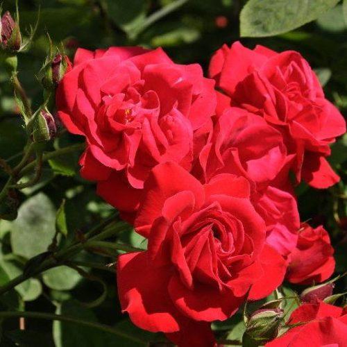 Роза плетистая Heidelberg