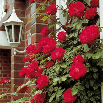 Роза плетистая Heidelberg-1