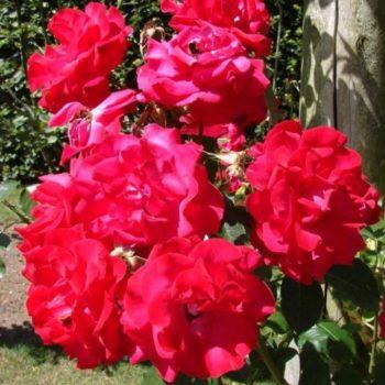 Роза плетистая Heidelberg-2