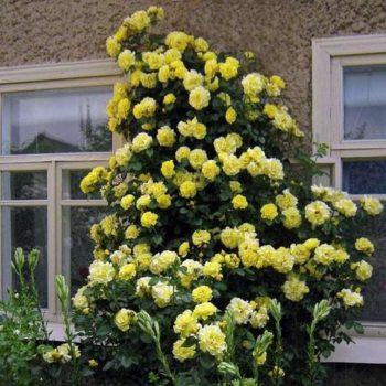 Роза Плетистая Morgensonne-1