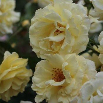 Роза Плетистая Morgensonne-2