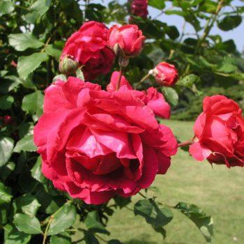 Роза Плетистая Paul's Scarlet-1