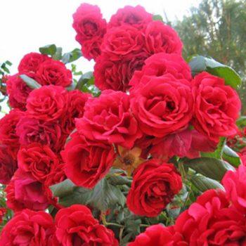 Роза Плетистая Paul's Scarlet-2