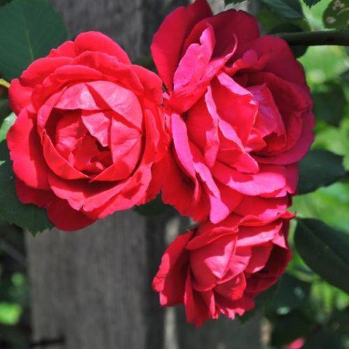 Роза Плетистая Paul's Scarlet