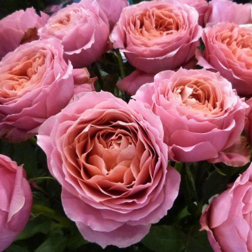 Роза плетистая romantic antike