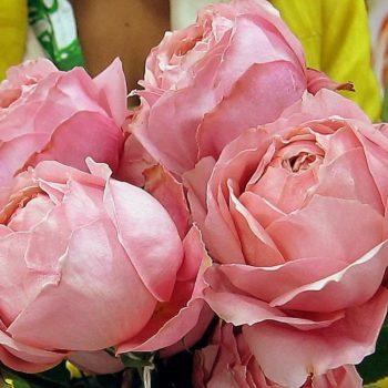 Роза плетистая romantic antike-1
