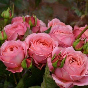 Роза плетистая romantic antike-2