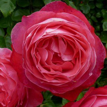 Роза Плетистая Rosanna-1