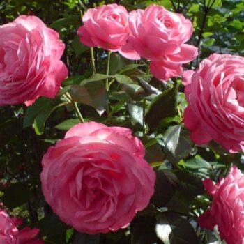 Роза Плетистая Rosanna-2