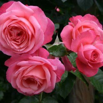 Роза Плетистая Rosanna