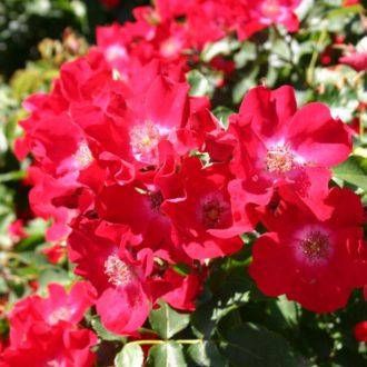 Роза Плетистая Rote Max Graf