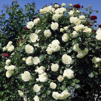 Роза Плетистая Schneewalzer-1