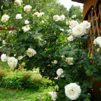Роза Плетистая Schneewalzer-2