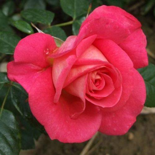 Роза плетистая shogun