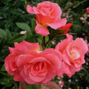 Роза плетистая shogun-1