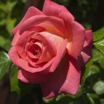 Роза плетистая shogun-2
