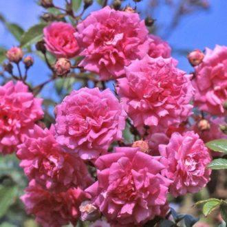 Роза Плетистая Super Dorothy