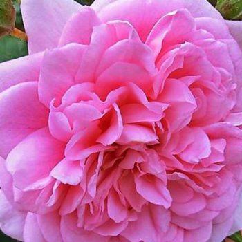 Роза Плетистая Sweet Laguna-1