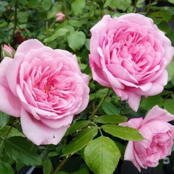 Роза Плетистая Sweet Laguna-2