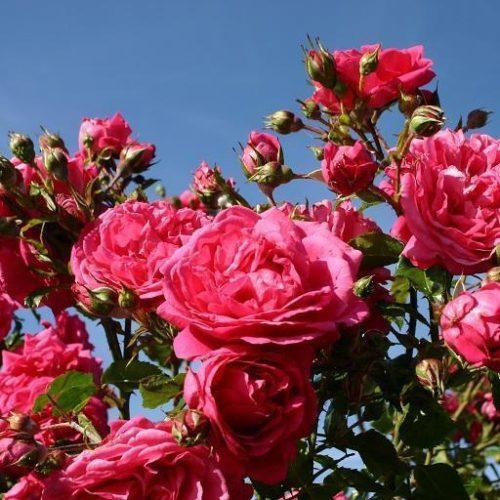Роза Плетистая Sweet Laguna