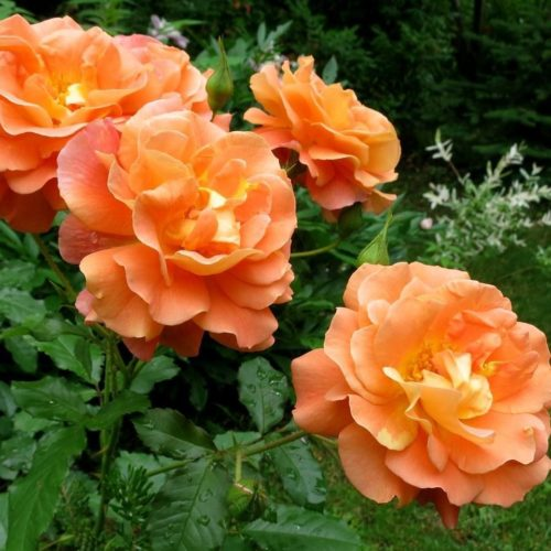 Роза Плетистая Westerland