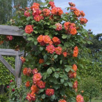 Роза Плетистая Westerland-1