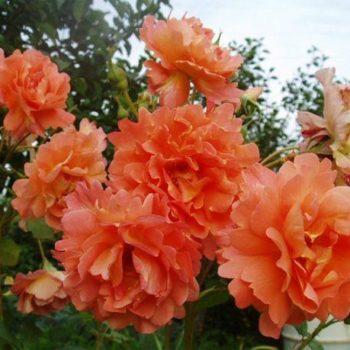 Роза Плетистая Westerland-2