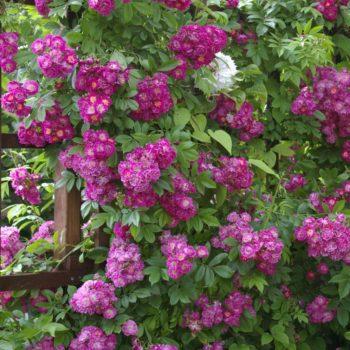 Роза Плетистая Perennial Blue-1