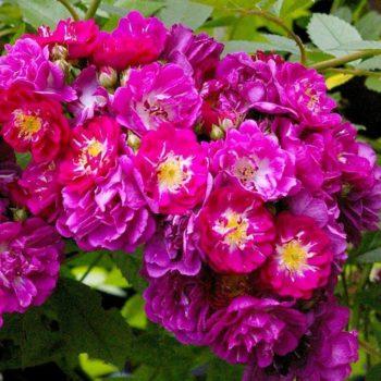 Роза Плетистая Perennial Blue-2