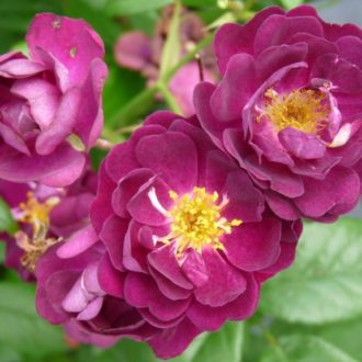 Роза Плетистая Perennial Blue