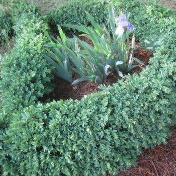 Самшит вечнозеленый blauer heinz-1
