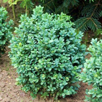 Самшит вечнозеленый blauer heinz-2