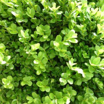 Самшит вечнозеленый suffruticosa-1