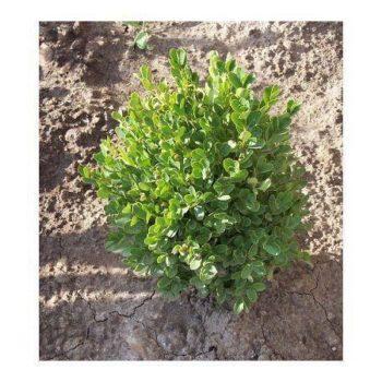 Самшит вечнозеленый suffruticosa-2
