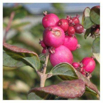 Снежноягодник доренбоза magic berry-2