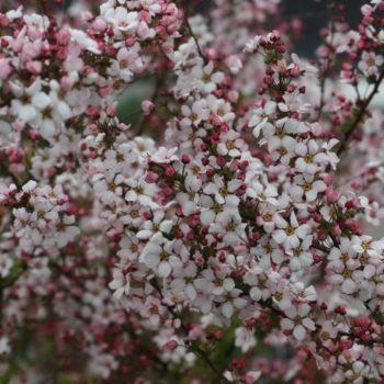 Спирея fujino pink-1